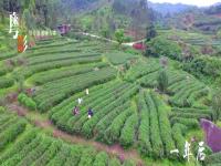 美丽乡村单元-茶之恋